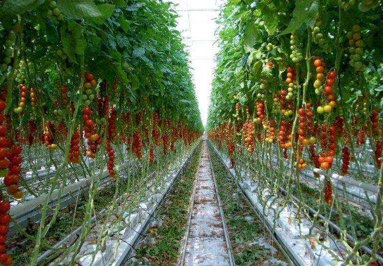 Гидропоника для выращивания помидор 546