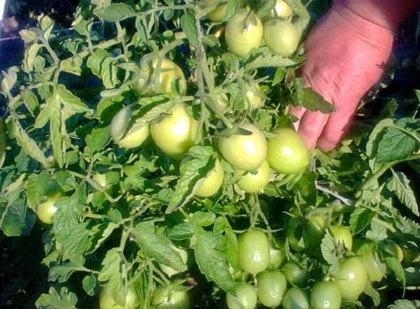 Комнатный сюрприз томат выращивание 87