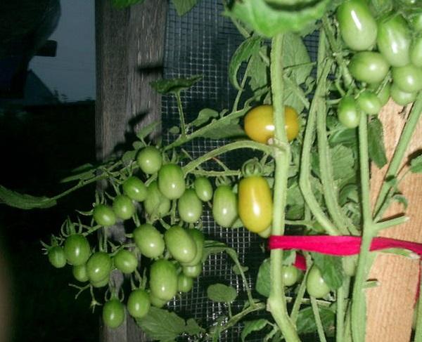 Комнатный сюрприз томат выращивание 56