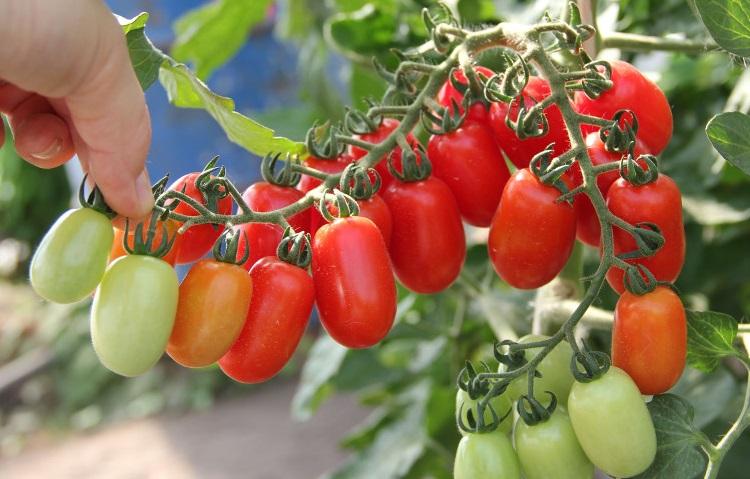 Комнатный сюрприз томат выращивание 83