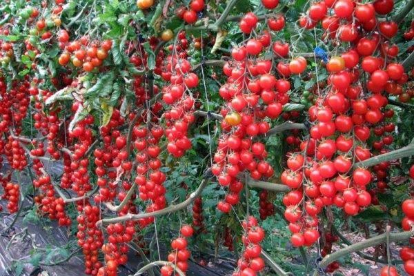 Томат рапунцель описание сорта выращивание на балконе