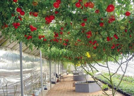 Лучшие сорта томатов на 2020 год для теплиц в Подмосковье: описание, фото