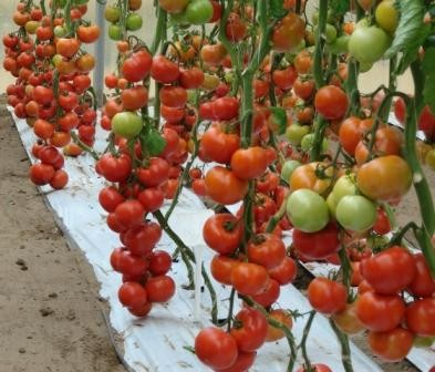 Томат Гамаюн: описание и характеристика сорта, урожайность с фото