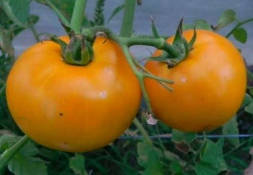 Описание сорта томат Золотая теща и его характеристики