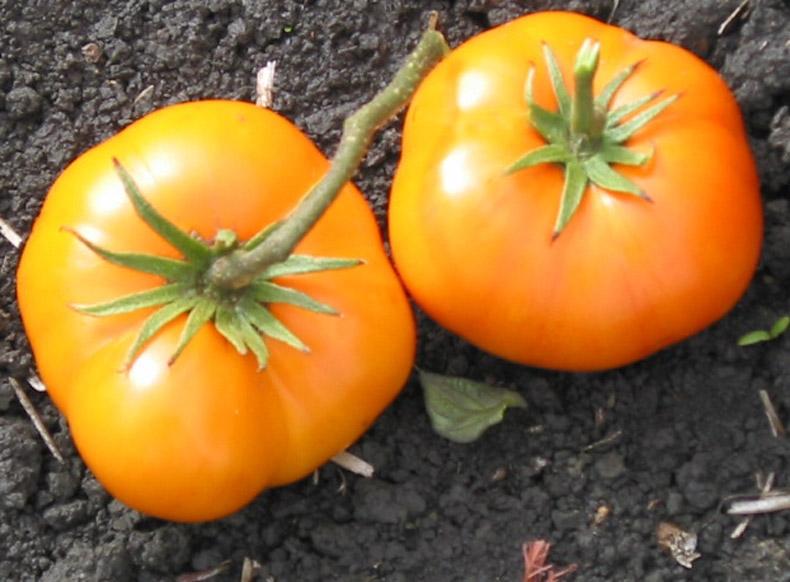 Описание сорта томата Граф Орлов его выращивания и урожайность