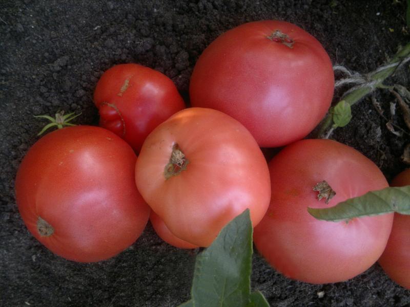 Чем хорош томат японская роза