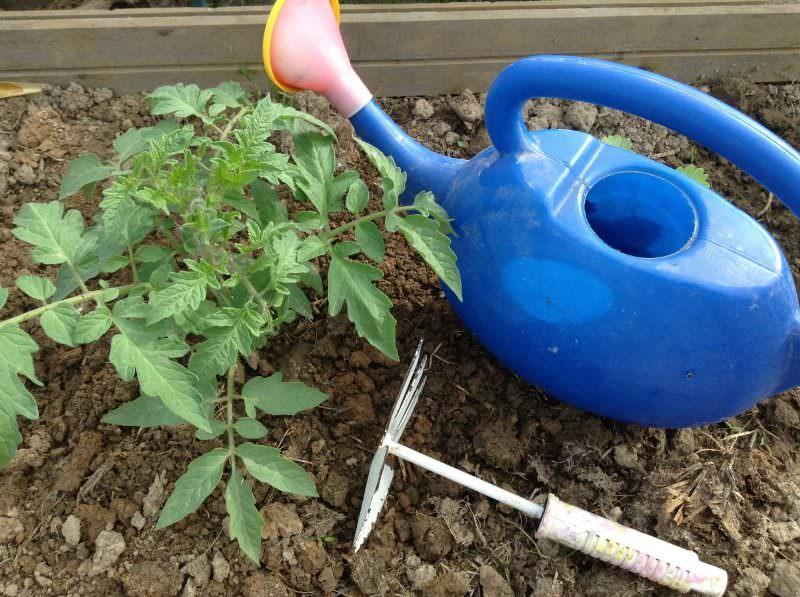 Чем полить помидоры для роста народными средствами