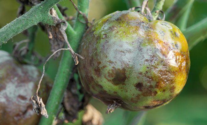 Обработка помидор от фитофторы в теплице народными средствами