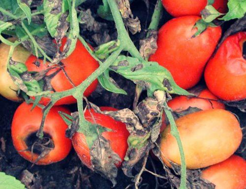 Альтернариоз помидор