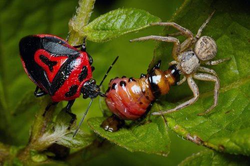Личинка колорадского жука погибает