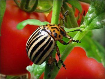 Колорадский жук на томатах