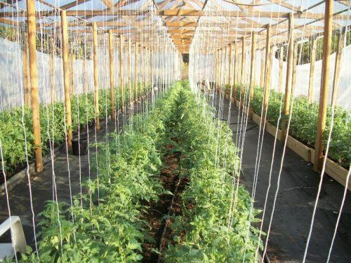 Контроль влажности у помидор