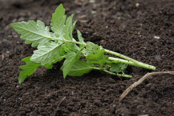 Метод выращивания томатов предложенный игорем масловым