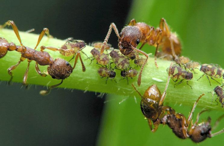 Как избавиться от муравьев в теплице препараты народные средства