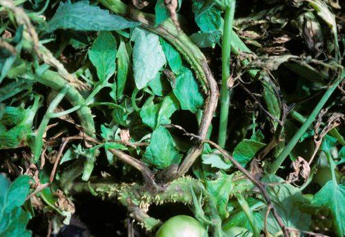 Некроз стебля