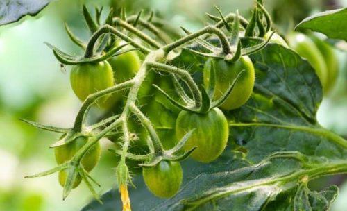 Зеленные томаты на грядке