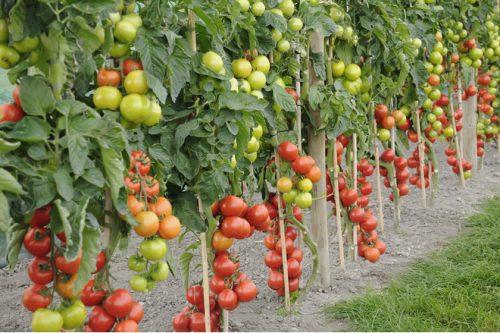 подвязка помидор в теплице