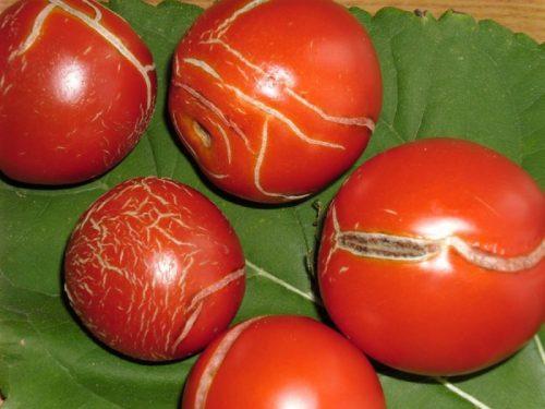Растрескивание плодов помидор