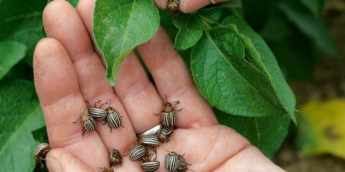 Сбор жука руками