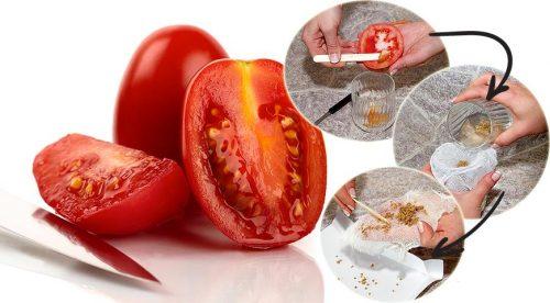 Собираем семена помидор