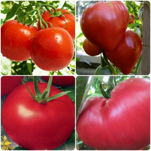 Сорта помидор для сбора семян