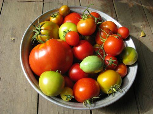 Сбор недоспелых томатов