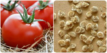 Заготовка семян помидор