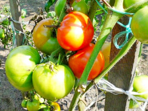 помидоры на солнце