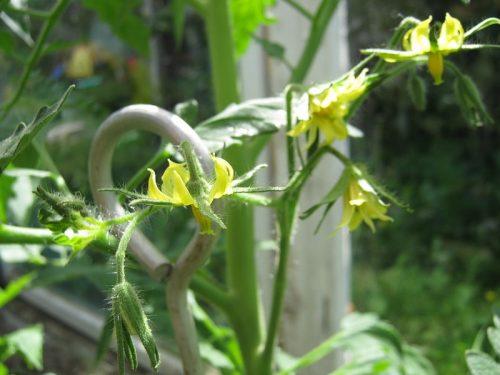 Встряхивание соцветий у помидор