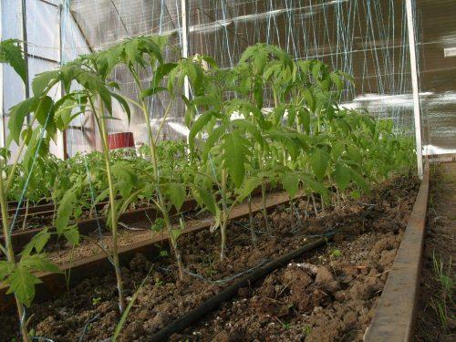 Выращивание помидор зимой