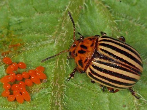 Колорадский жук и личинки