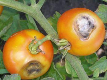 заболевание томатов