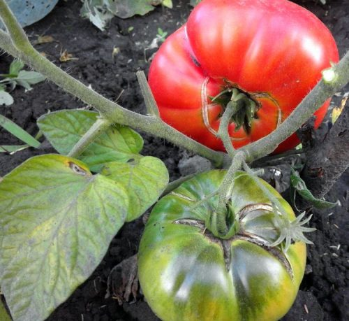 treschiny-na-pomidorah-pri-boleznyah-500x459.jpg