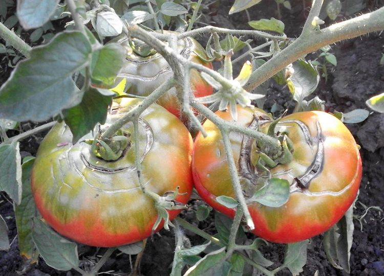 почему пропадают помидоры в теплице