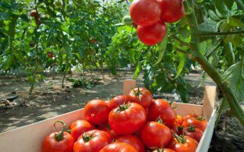 квадрис для помидор
