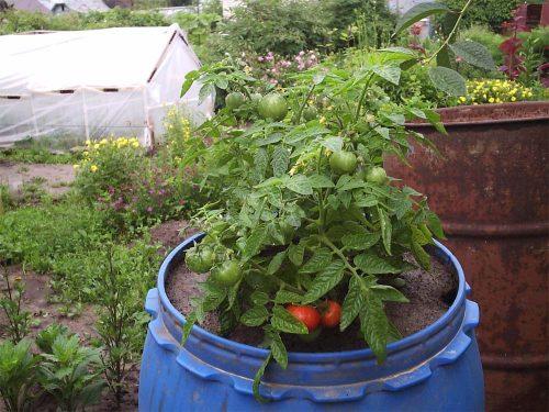 Как вырастить помидоры в бочке на даче