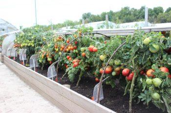 томаты на высоких грядках