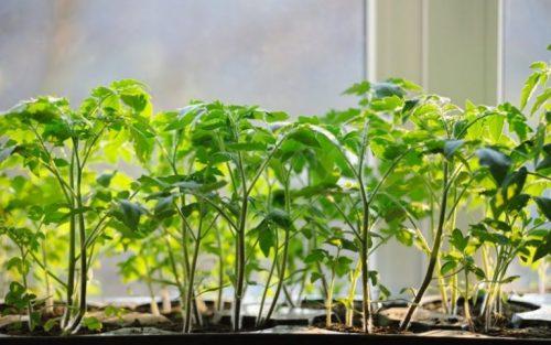 Как закалять рассаду помидор закаливание разными способами