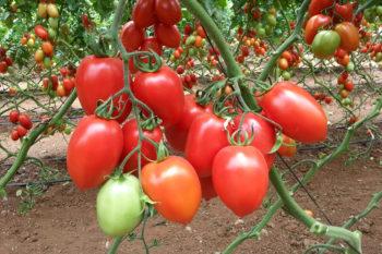 Раннеспелые помидоры