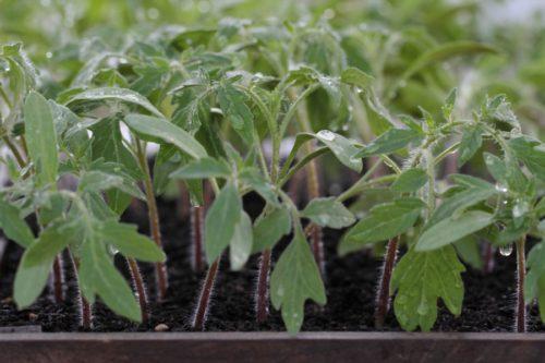 Когда сажать помидоры на рассаду в 2020 году по лунному календарю