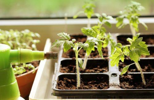 подкормка рассады томатов