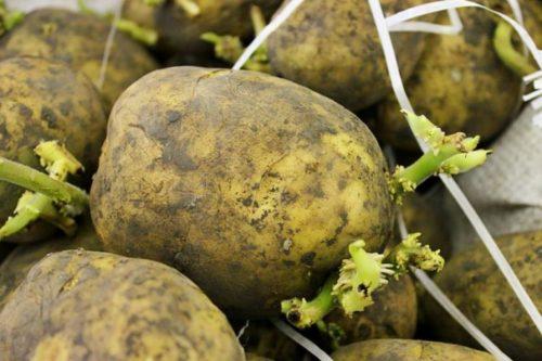 Проращивания картофеля
