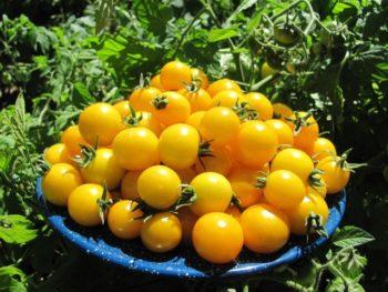 сладкие желтые помидоры