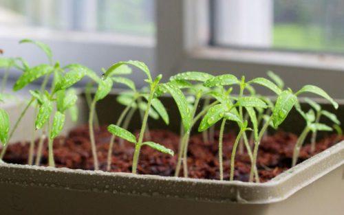 китайский способ выращивания рассады