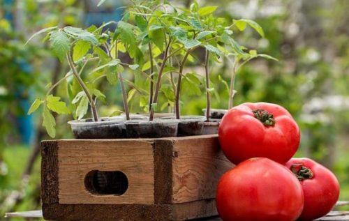 благоприятные дни для посадки томатов в марте