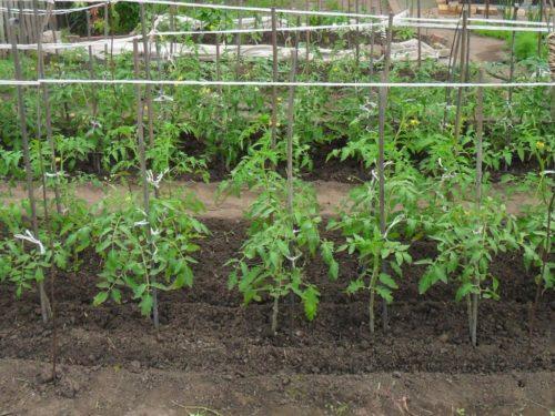 ленивые грядки для томатов