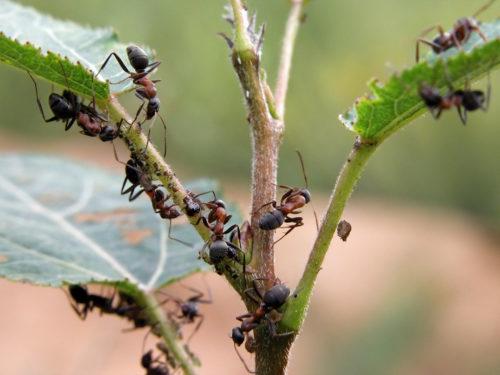 муравьи на участке как избавиться