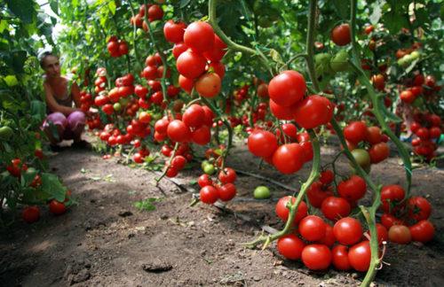 спасти томаты от жары в теплице