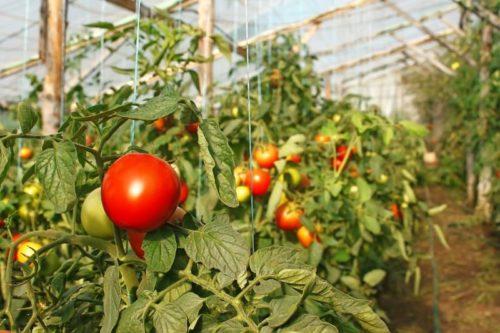 помидоры и жара в теплице