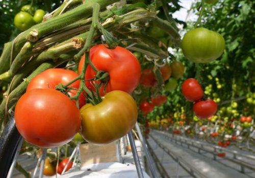 спасти помидоры от жары